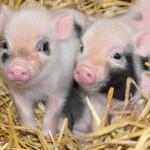 Dois porquinhos bebes, representando a juventude de Jesus e Guedes